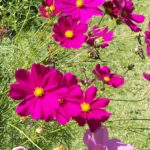 Wildflower - Cosmos in Bloom