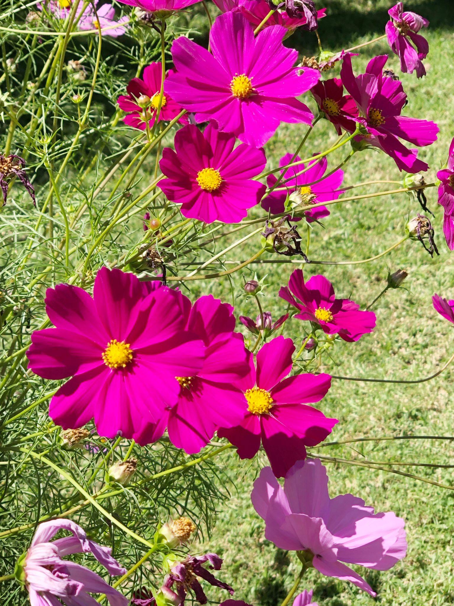 Wildflower - Cosmos in Bloom