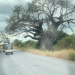 an African Baobab tree on the side of the road with cars passing by