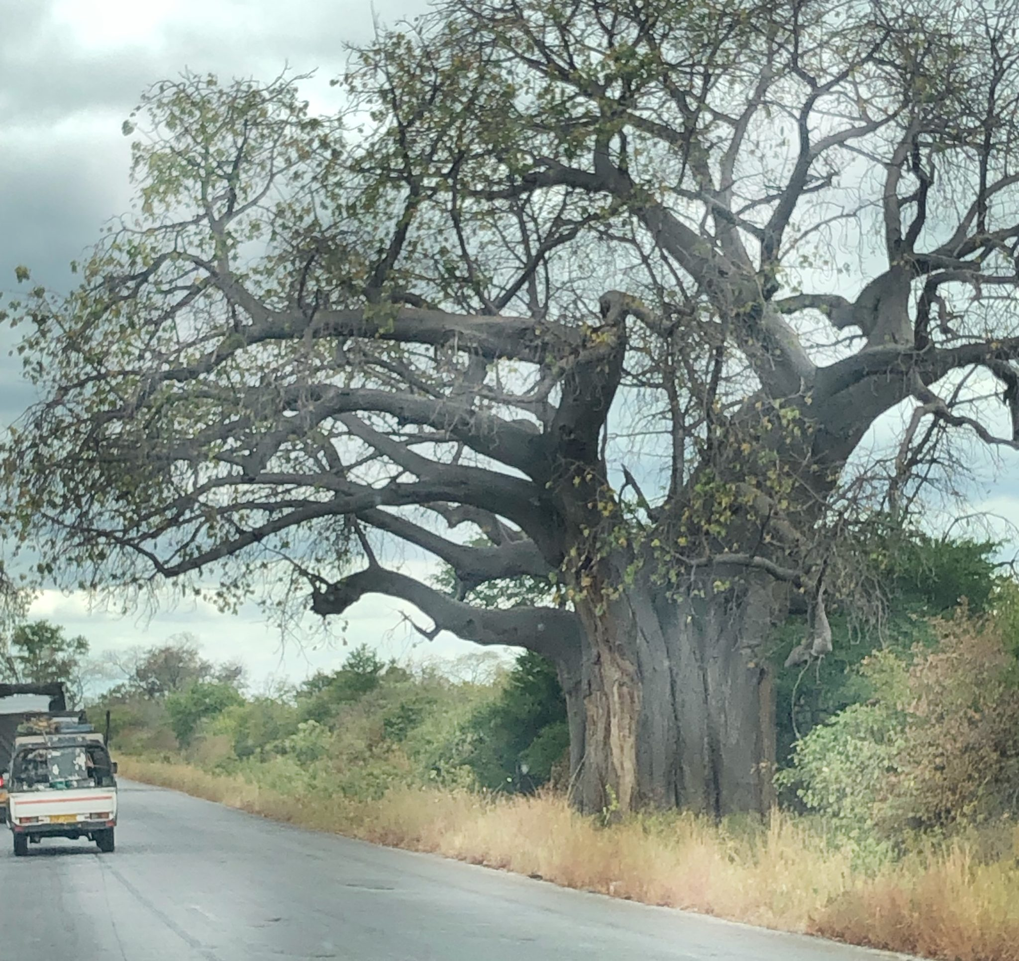 The Famous Baobab Tree